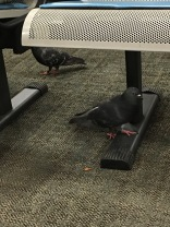 Some birds at the Amtrak station in Chicago.