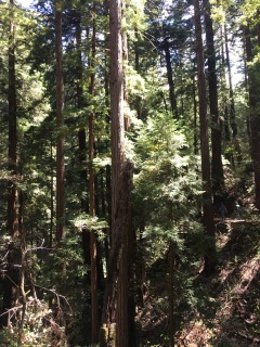 A view of the massive and beautiful Redwood trees of Muir Woods.