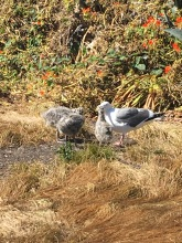 A seagull and her babies on Alcatraz island.