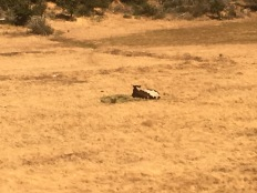 A lone cow.