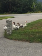 Some swans we came across while driving near North Conway during our trip to New Hampshire.